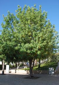 Árbol plantado en la Avenida de los Justos, en honor a Irena, en Yad Vashem
